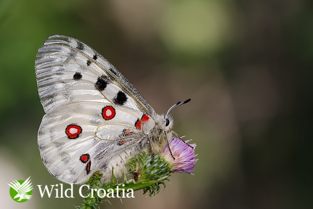 Apolon ( Parnassius apollo )