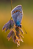 Plavac - Polyommatus icarus - Common Blue