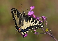 Lastin rep (Papilio machaon)