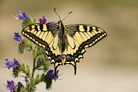 Lastin rep Papilio machaon